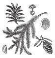 Canadian hemlock vintage engraving vector