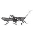 Meadow grasshopper sketch vector