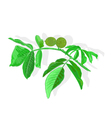 Nuts branch vector