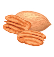 Pecan nuts vector
