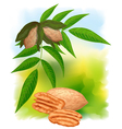 Pecan nuts with leaves vector