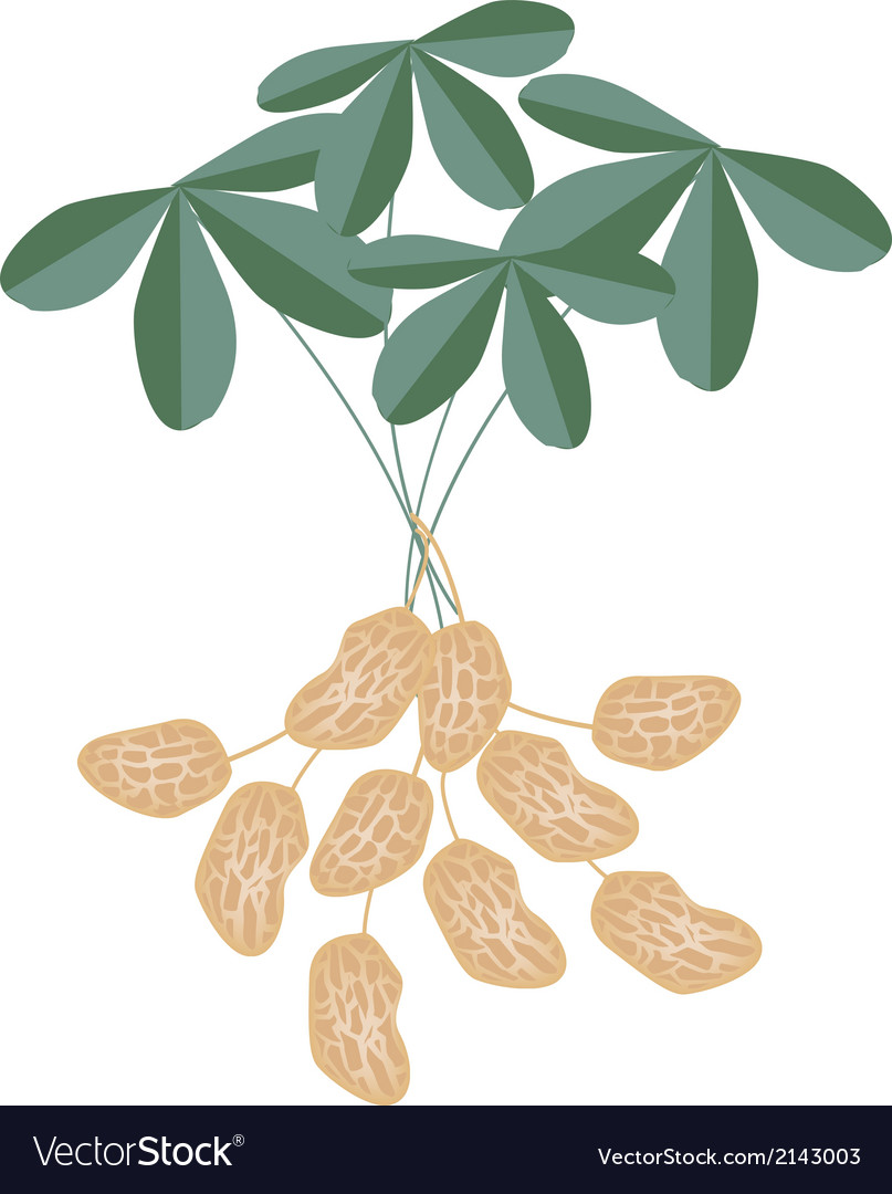 A peanuts plant on white background vector | Price: 1 Credit (USD $1)