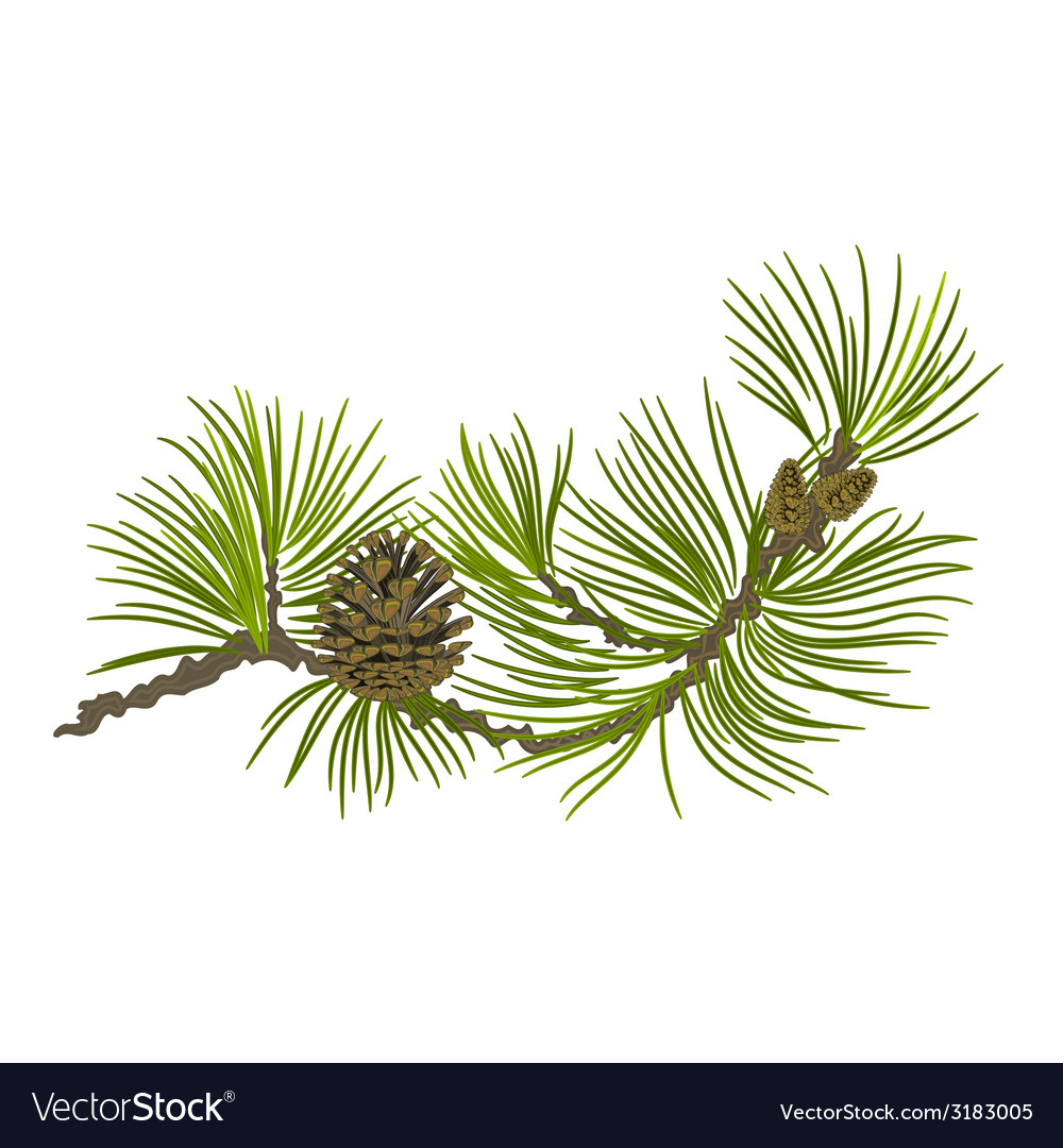 Branch of christmas tree pine branch vector | Price: 1 Credit (USD $1)
