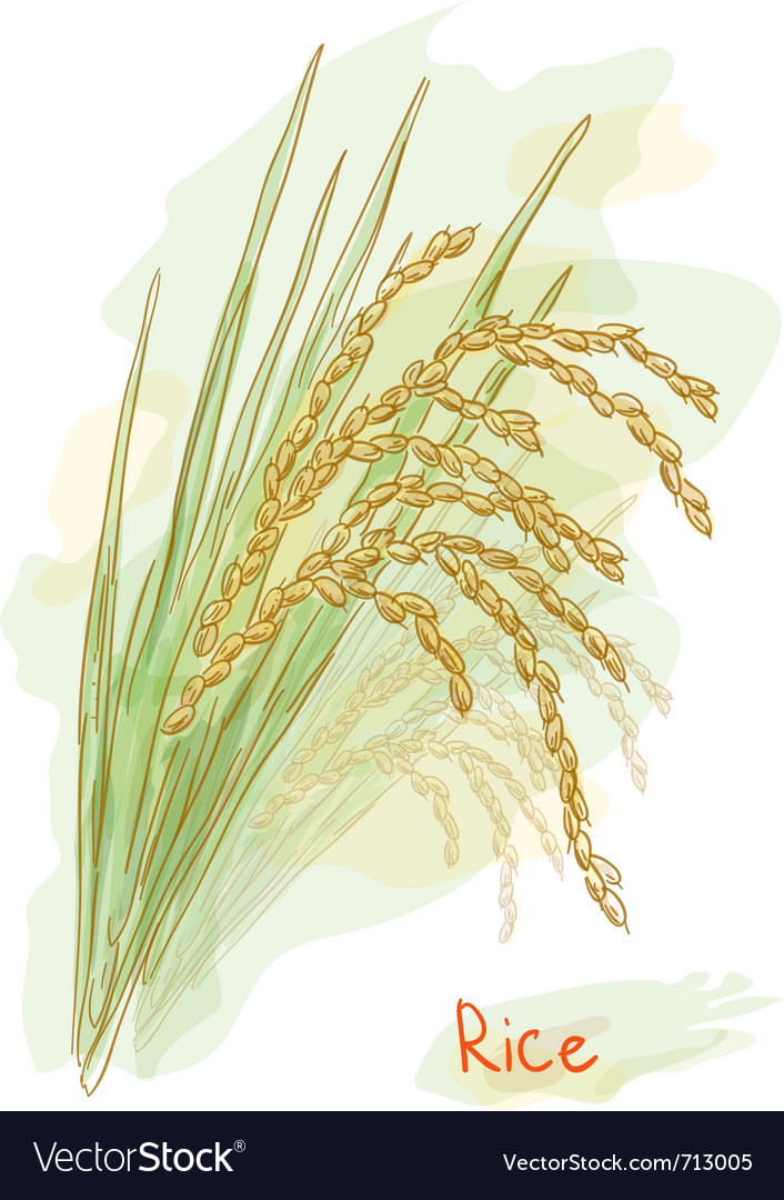 Rice watercolor style vector | Price: 1 Credit (USD $1)