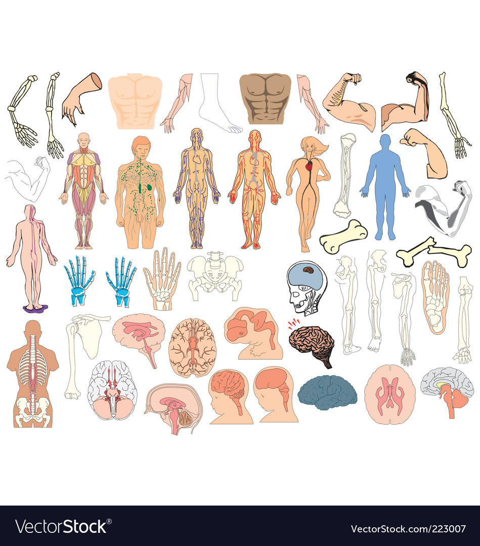 Anatomy vector | Price: 1 Credit (USD $1)