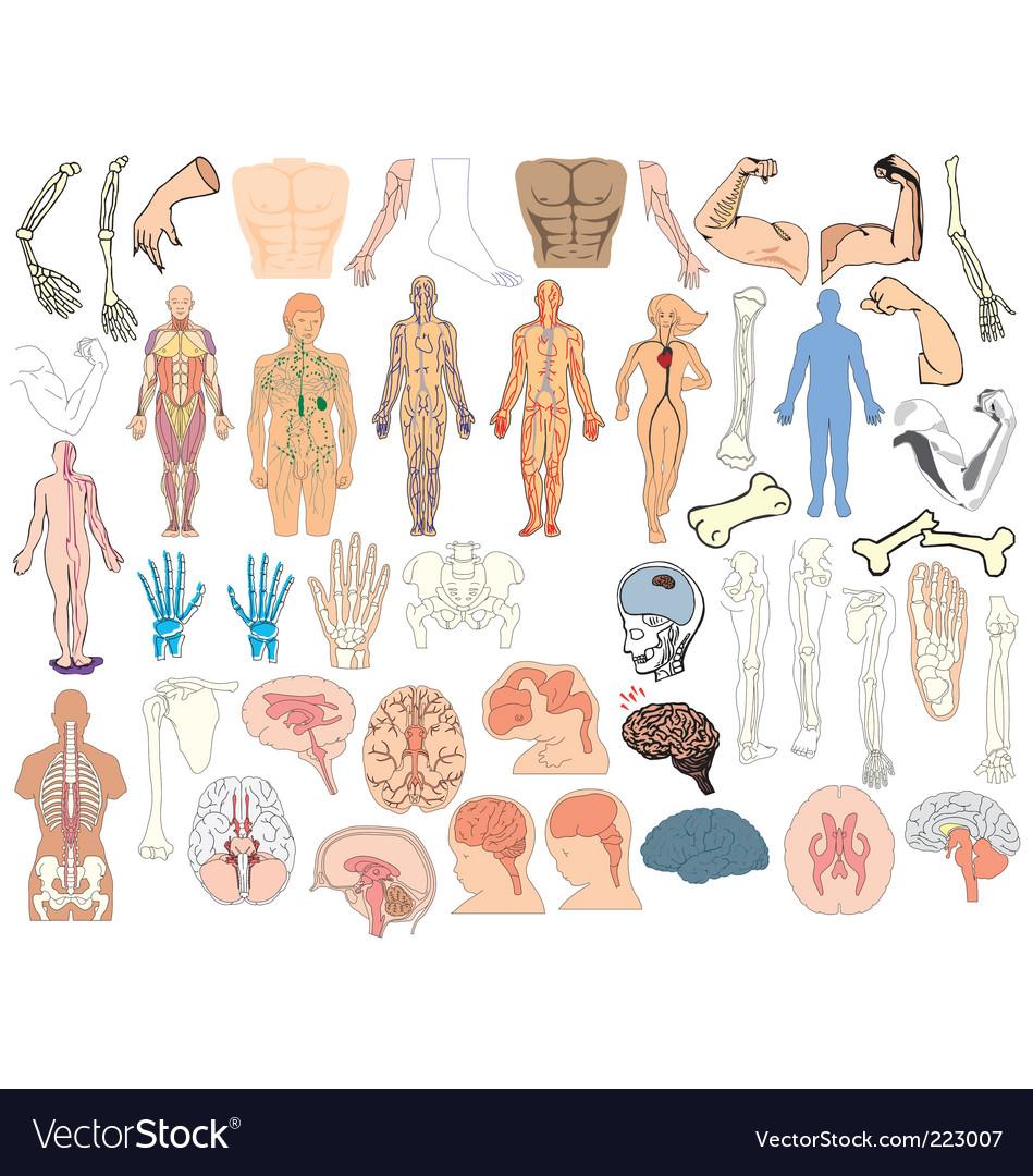 Anatomy vector | Price: 1 Credit (USD $1)