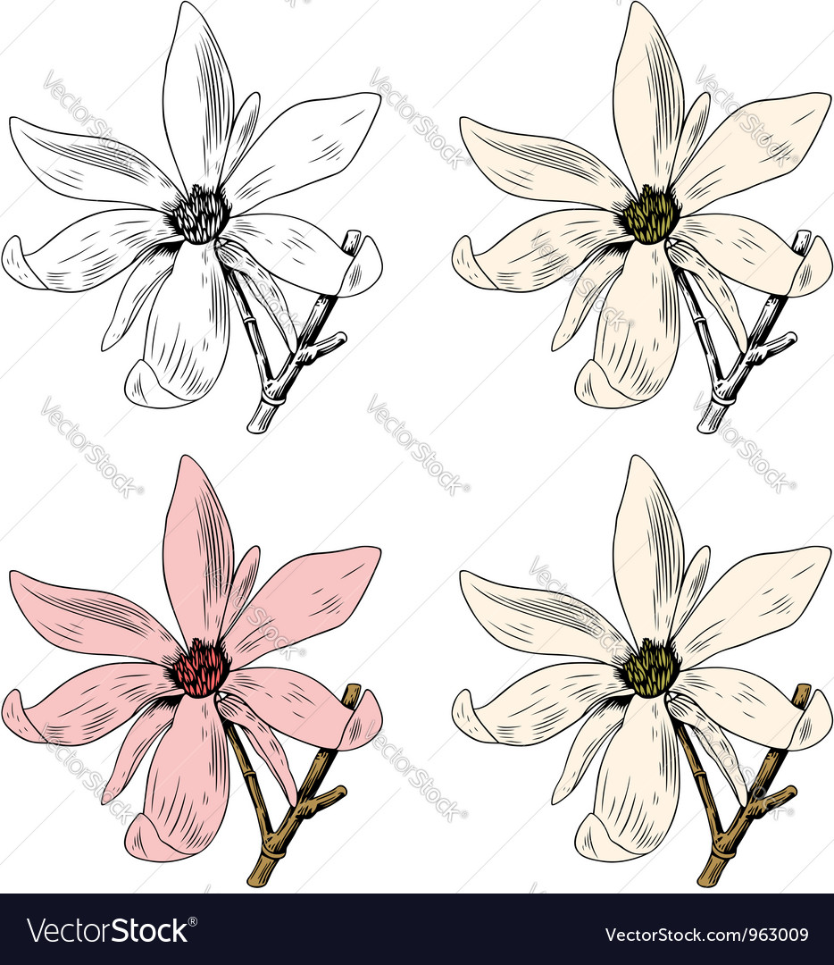 Flower anise magnolia vector | Price: 1 Credit (USD $1)