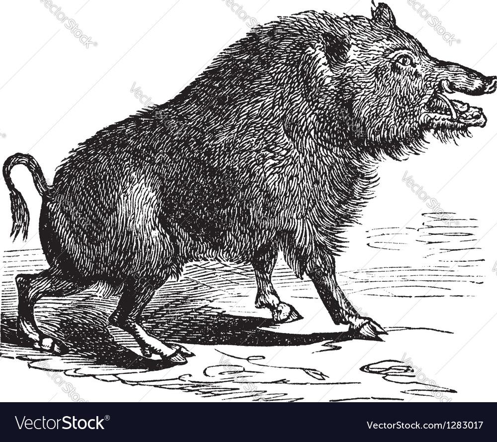 Wild boar sketch vector | Price: 1 Credit (USD $1)