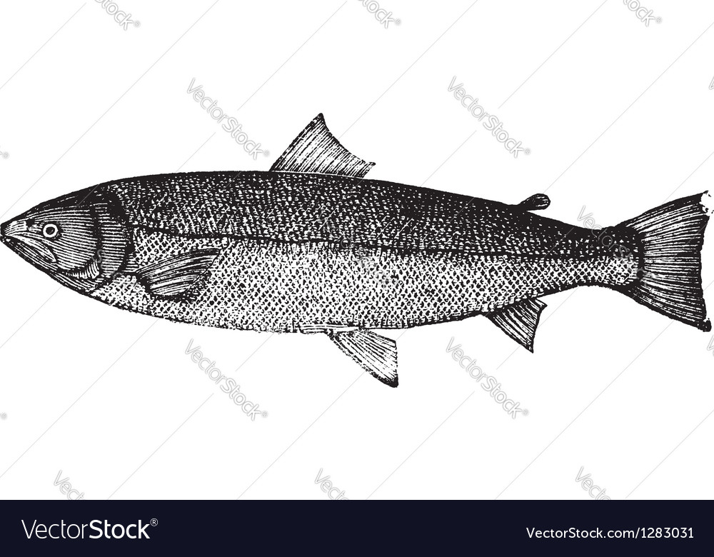 Atlantic salmon sketch vector | Price: 1 Credit (USD $1)