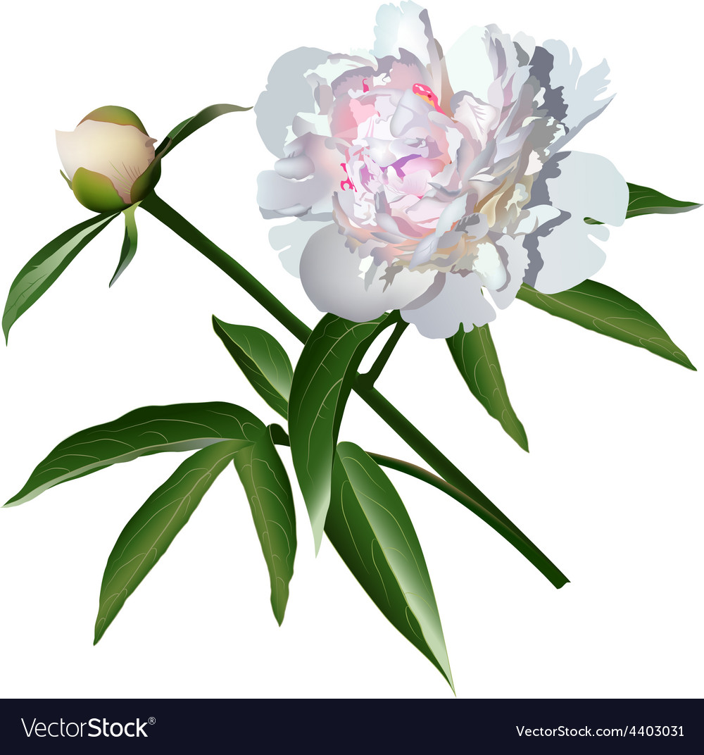 White realistic paeonia flower with leaves and bud vector | Price: 1 Credit (USD $1)