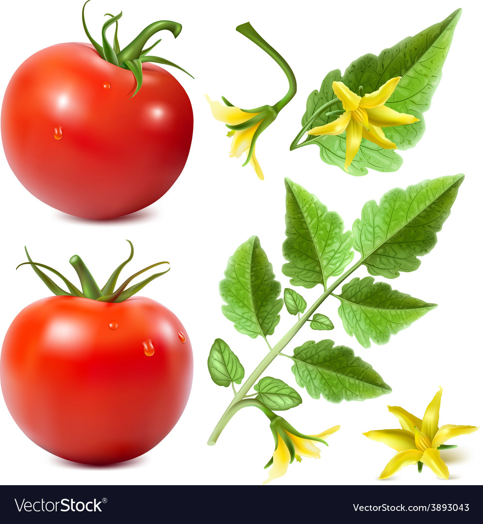 Red ripe tomatoes vector