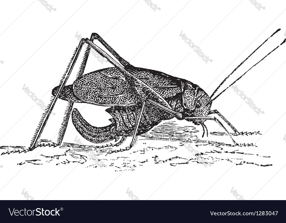 Winged katydid sketch vector | Price: 1 Credit (USD $1)