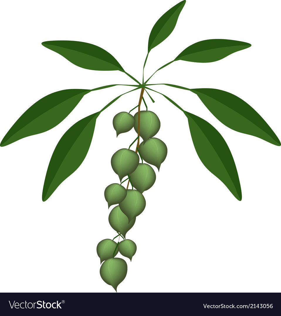 Fresh green macadamia nuts on a branch vector | Price: 1 Credit (USD $1)