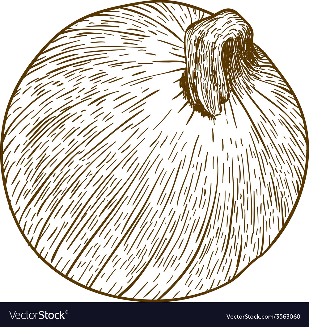 Engraving one onion vector | Price: 3 Credit (USD $3)