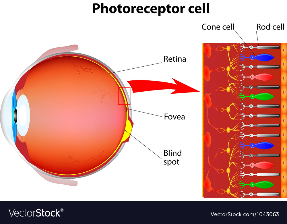 Rod cells and cone cells vector
