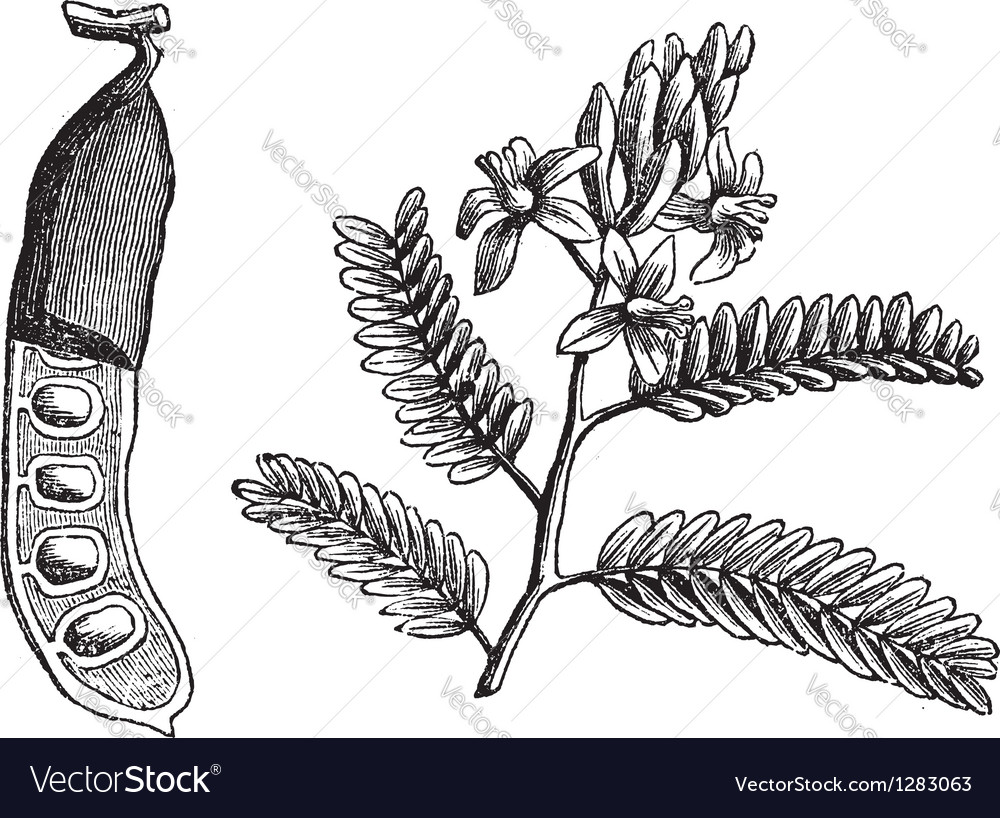 Vintage tamarind leaf vector | Price: 1 Credit (USD $1)