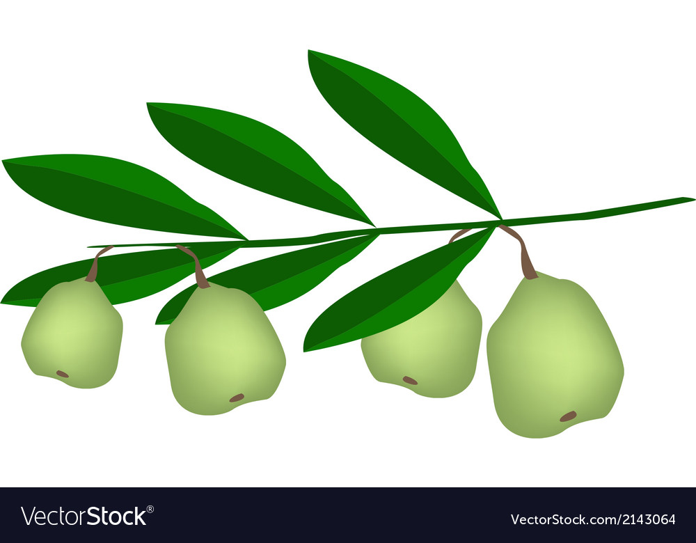 Fresh green unripe walnuts on a branch vector | Price: 1 Credit (USD $1)