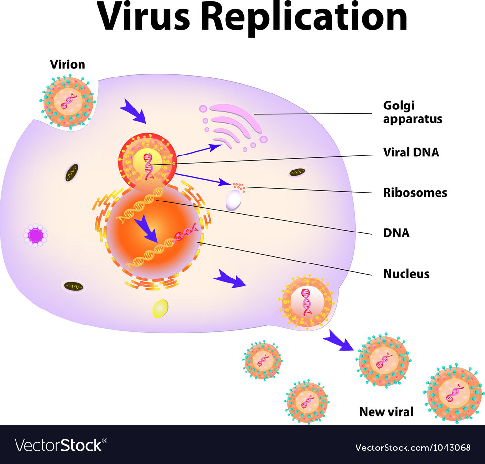 Virus replication cycle vector | Price: 1 Credit (USD $1)