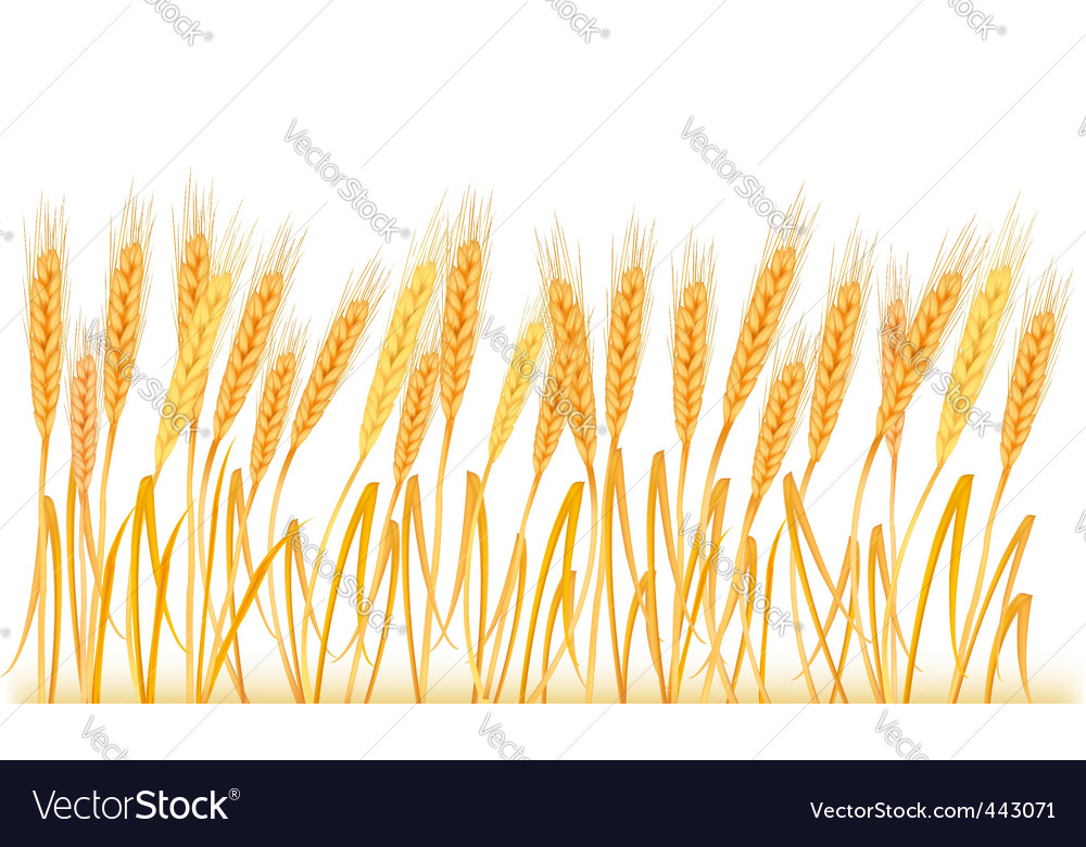 Wheat ears on field vector | Price: 1 Credit (USD $1)