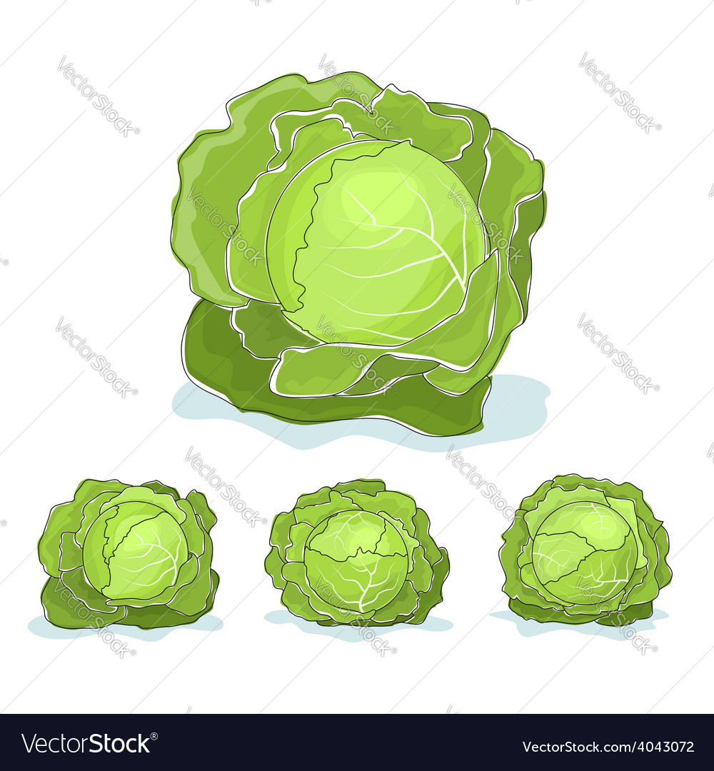White cabbage vegetable on a white background vector | Price: 1 Credit (USD $1)