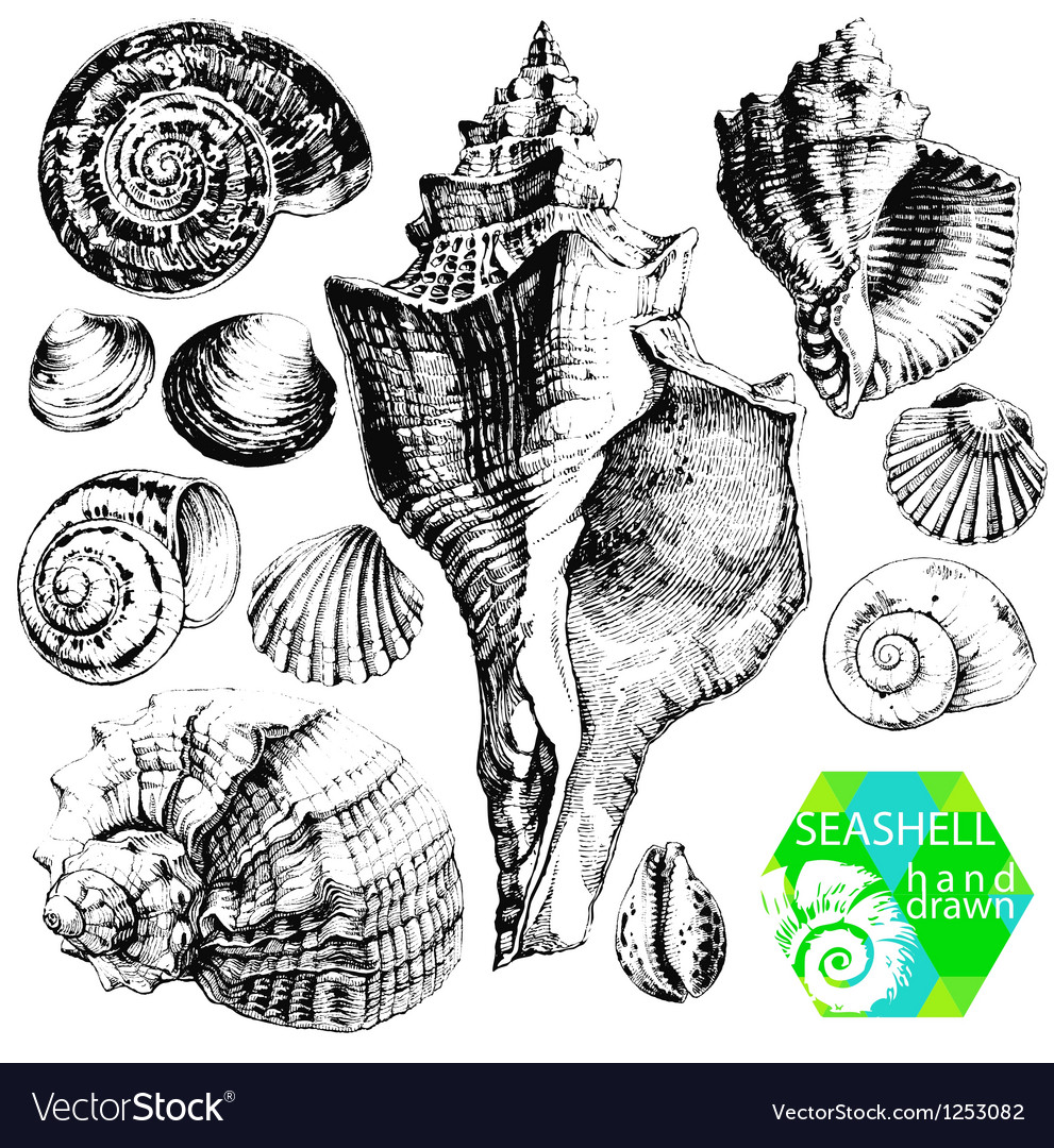 Seashells vector | Price: 1 Credit (USD $1)