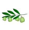 Fresh green unripe walnuts on a branch vector