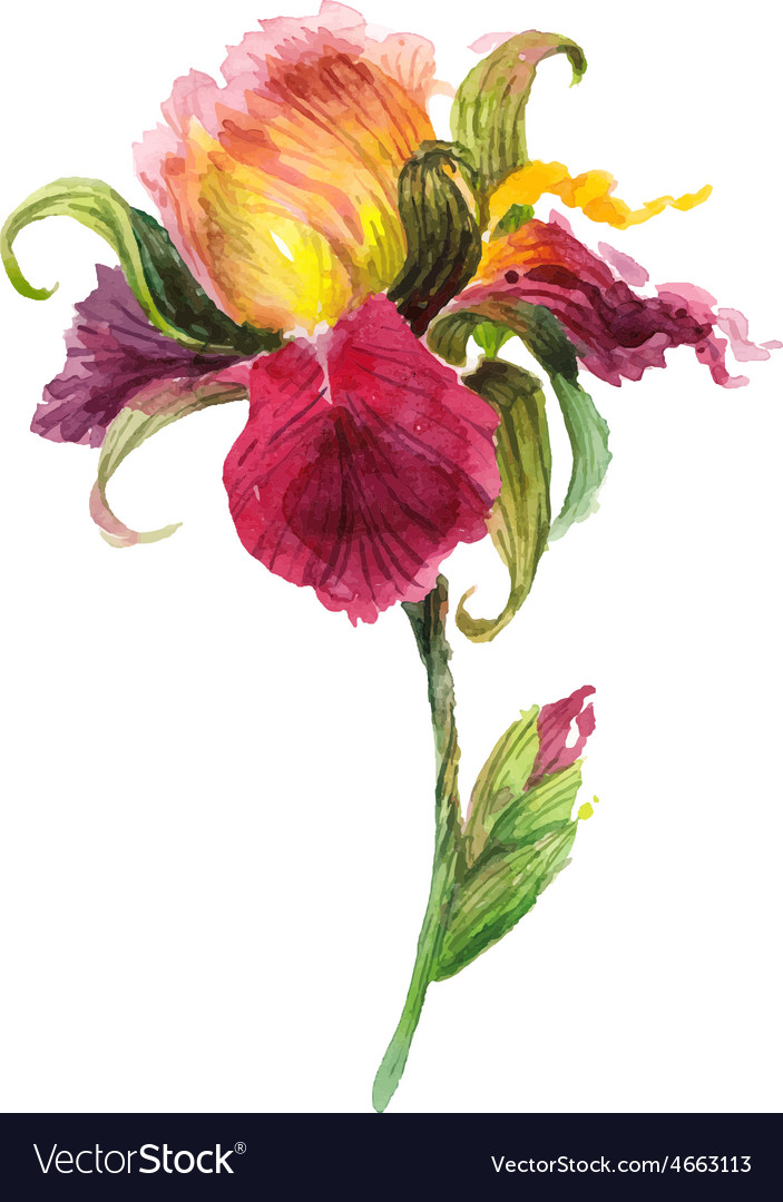 Beautiful watercolor iris flower vector