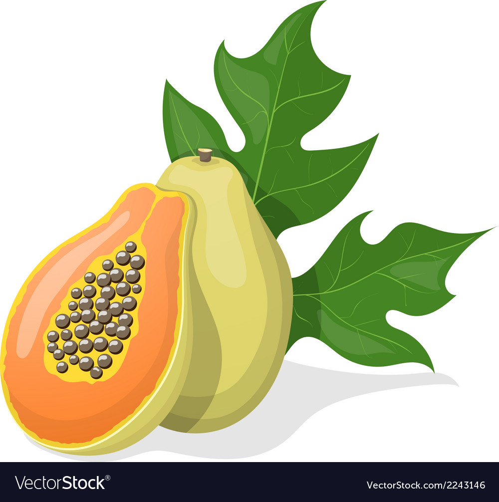 Papaya on white background vector | Price: 1 Credit (USD $1)