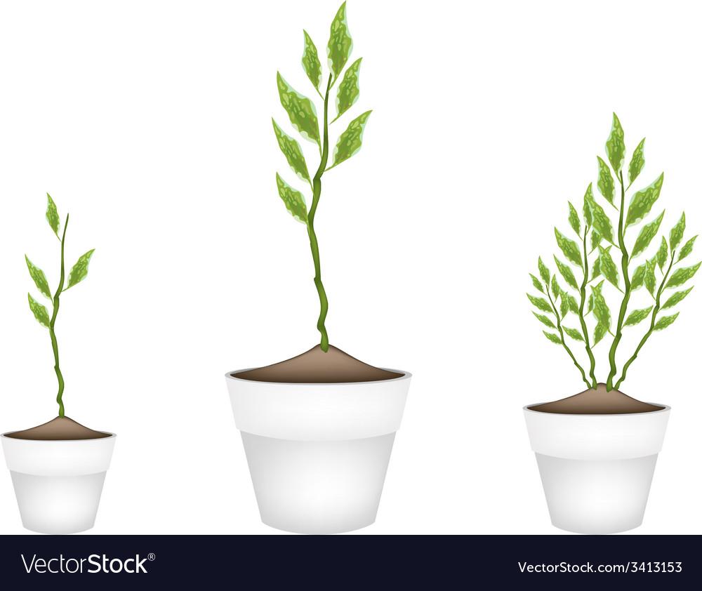 Three pedilanthus tithymaloides in ceramic flower vector | Price: 1 Credit (USD $1)