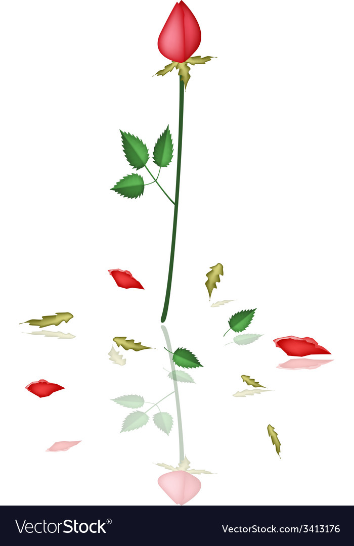 A lovely red roses on white background vector | Price: 1 Credit (USD $1)