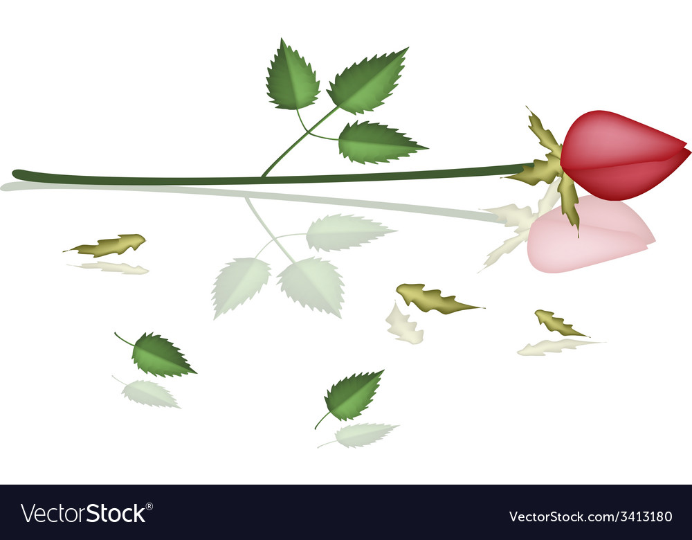 A lovely red roses laying on white background vector | Price: 1 Credit (USD $1)