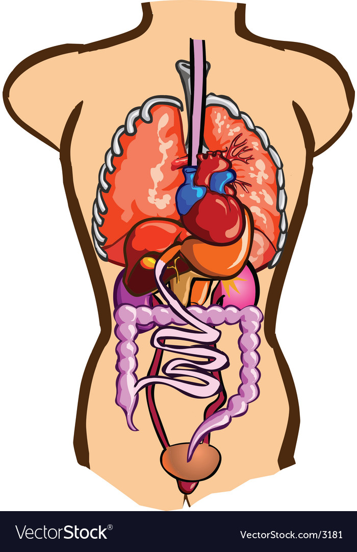 Internal organs vector | Price: 3 Credit (USD $3)