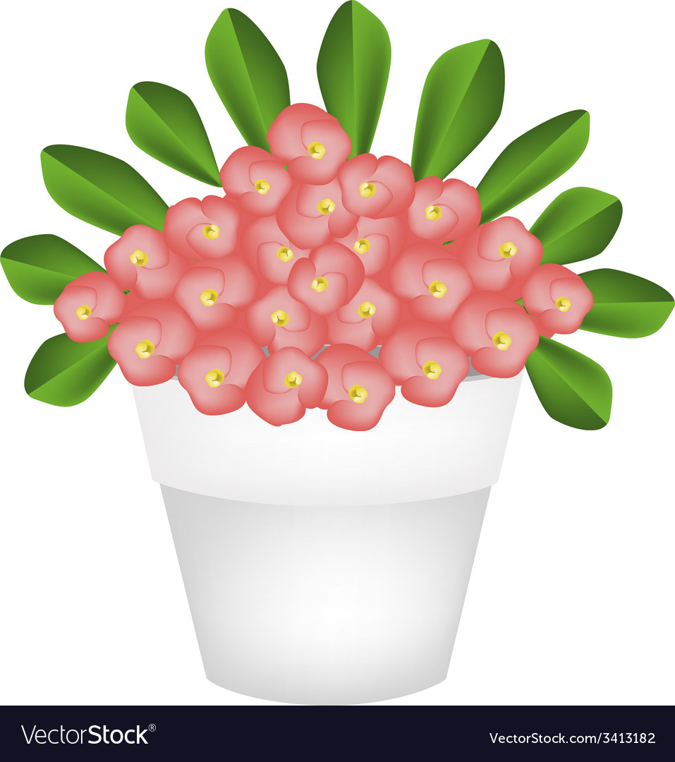 Fresh crown of thorns flowers in ceramic pot vector | Price: 1 Credit (USD $1)