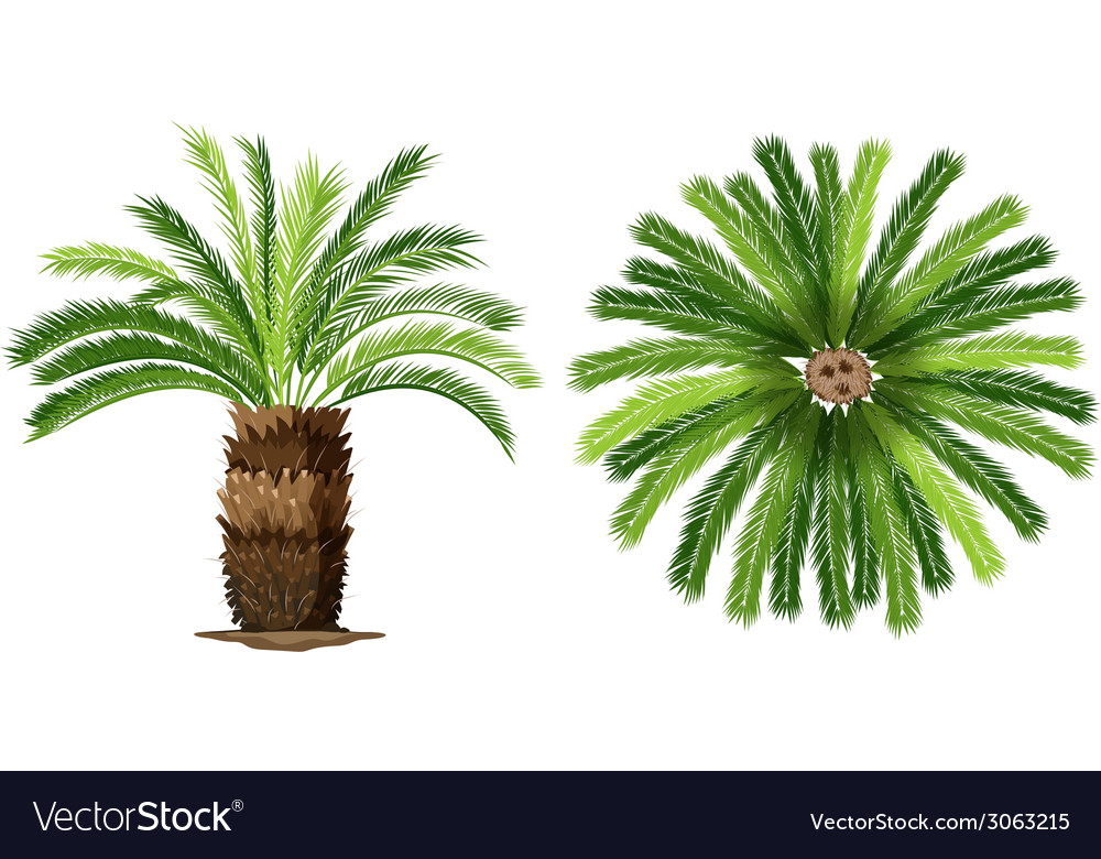 Sogo palm vector | Price: 1 Credit (USD $1)