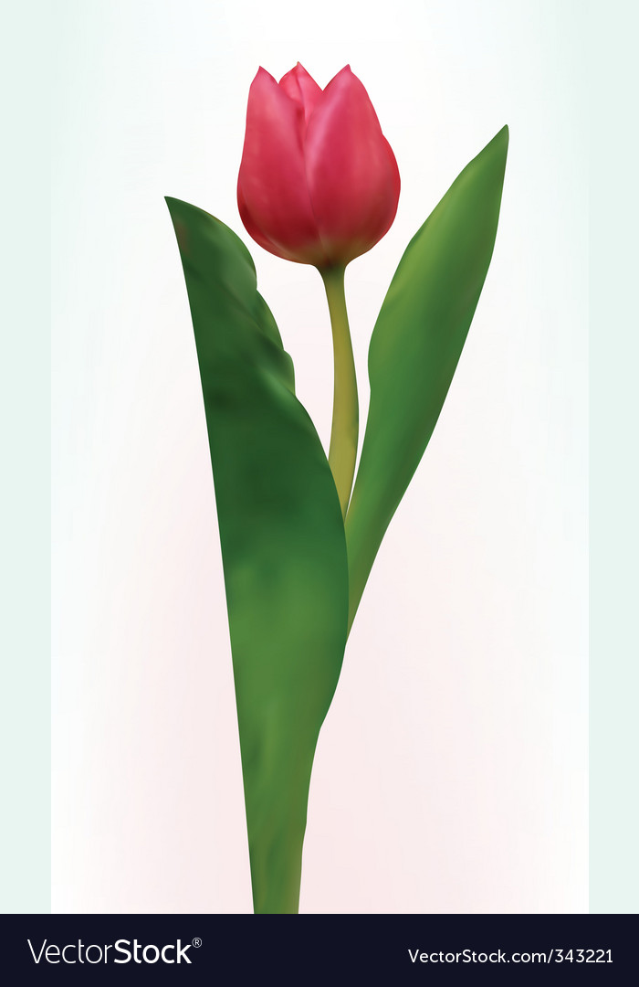 Tulip flower isolated vector | Price: 1 Credit (USD $1)