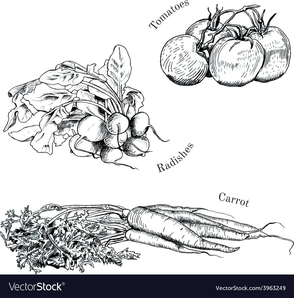 Hand drawn vegetables ink sketches set vector | Price: 1 Credit (USD $1)