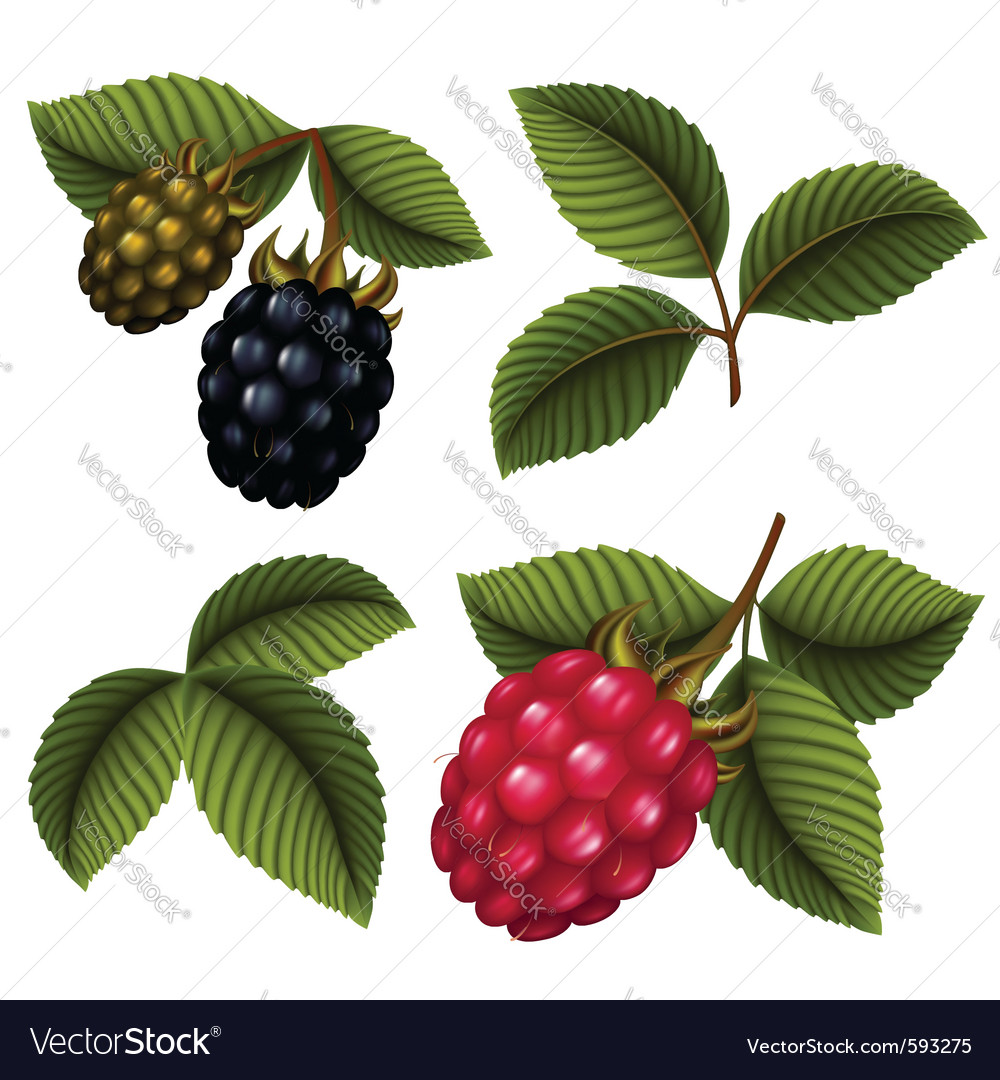 Raspberries vector | Price: 1 Credit (USD $1)