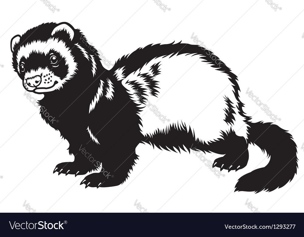 Ferret black white vector