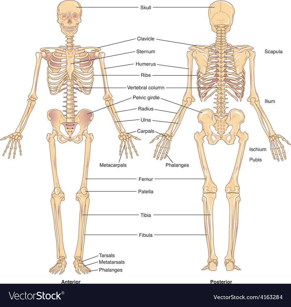 Skeletal structure vector | Price: 1 Credit (USD $1)