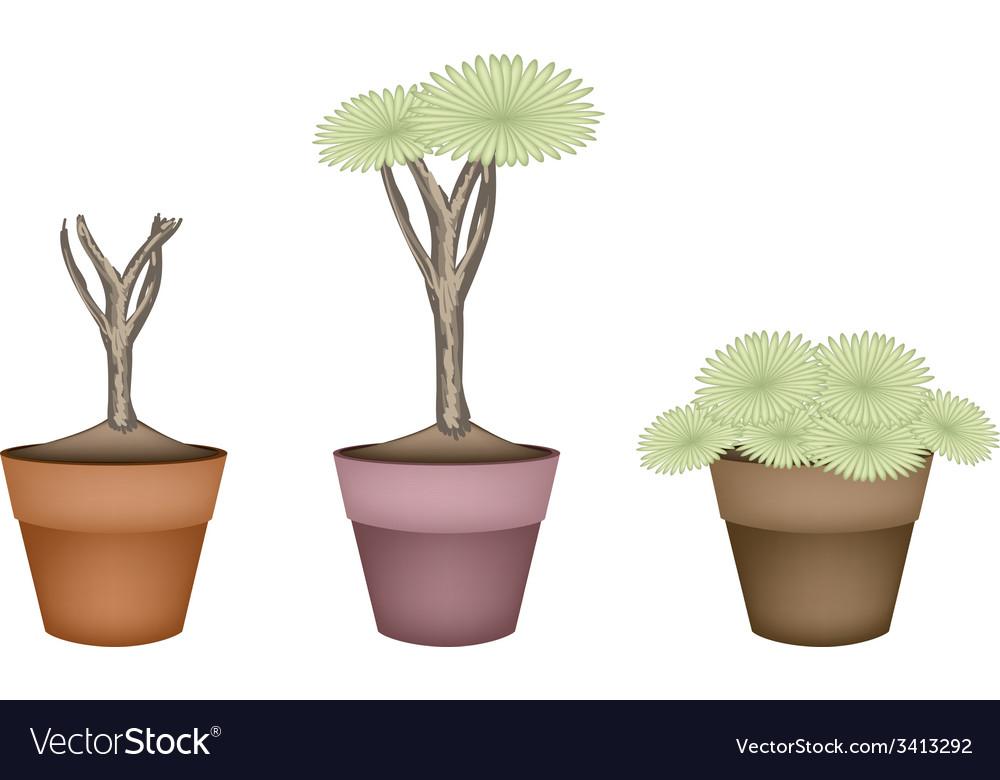 Three dragon tree in ceramic flower pots vector   Price: 1 Credit (USD $1)