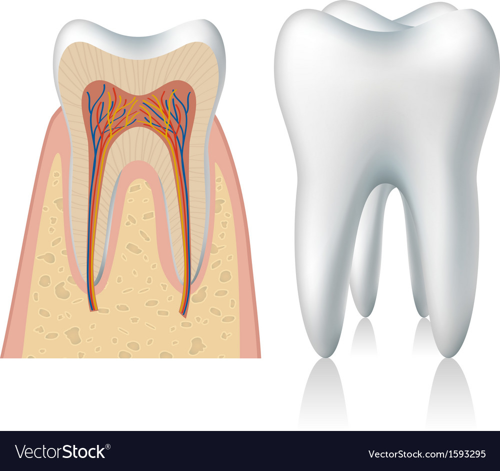 Tooth anatomy vector | Price: 1 Credit (USD $1)