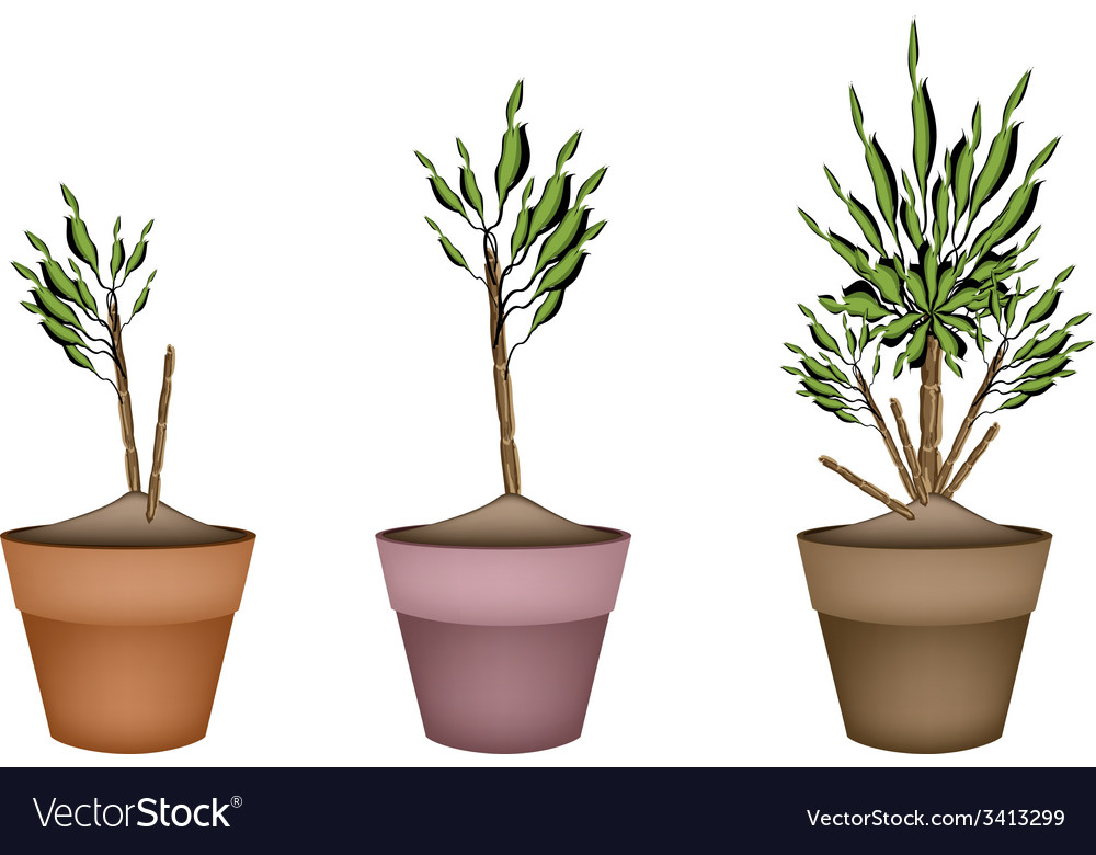 Yucca tree and dracaena plant in flower pots vector | Price: 1 Credit (USD $1)
