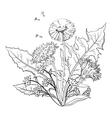 Flowers dandelions vector