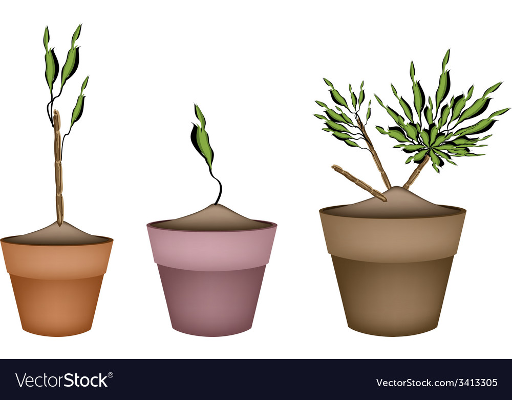 Yucca tree and dracaena plant in ceramic pots vector | Price: 1 Credit (USD $1)