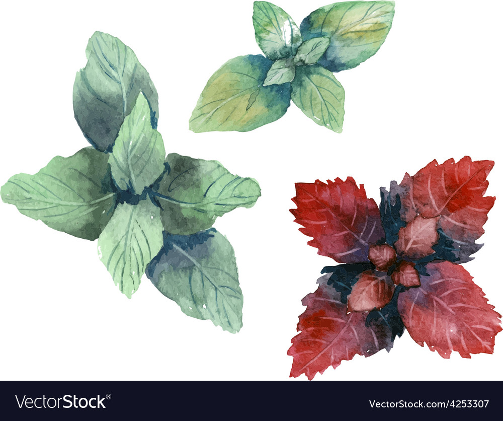 Water color herbs mint and basil vector | Price: 1 Credit (USD $1)