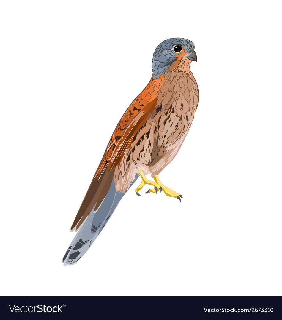 Kestrel predatory bird vector | Price: 1 Credit (USD $1)