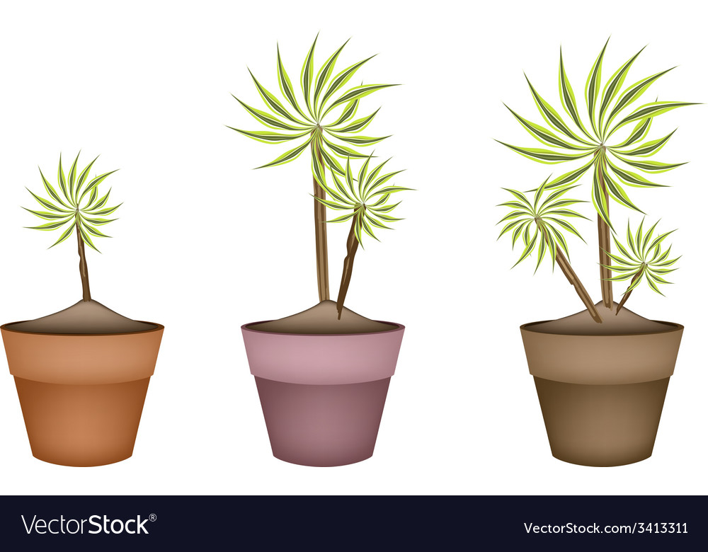 Three yucca tree and dracaena plant in ceramic pot vector | Price: 1 Credit (USD $1)