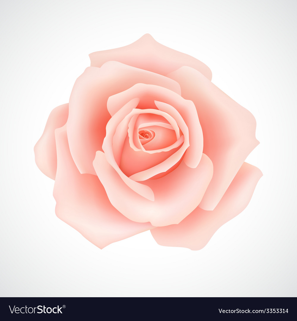 Pink rose vector | Price: 1 Credit (USD $1)