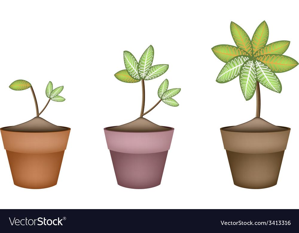 Dieffenbachia picta marianne plant in ceramic pot vector | Price: 1 Credit (USD $1)