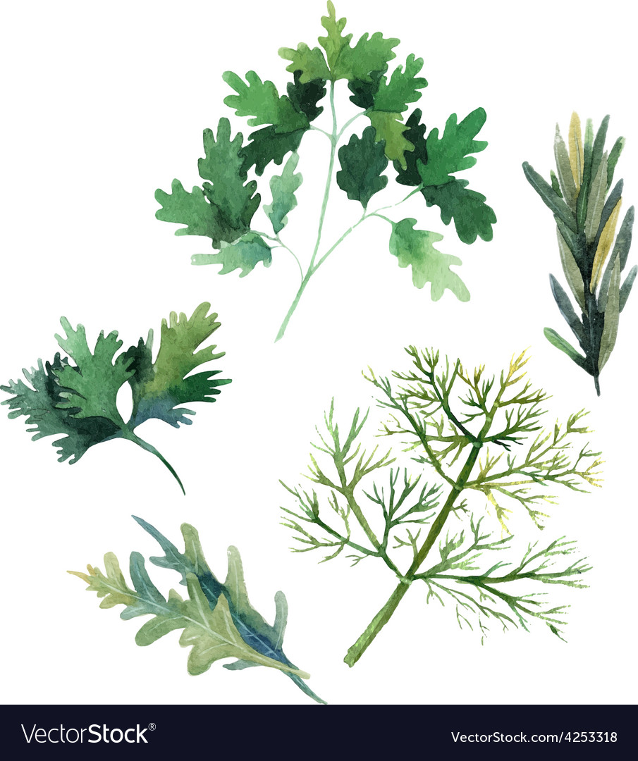 Water color herbs fennel parsley rosemary and arug vector | Price: 1 Credit (USD $1)